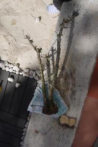 Mi primer olivo yamadori (ACTUALIZADO A VI/2018) - Página 3 Th_983120140_P1080568_122_213lo